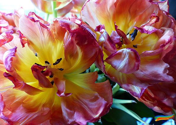 Tulpe (© Dorisa-Karten)